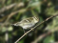 Yellow-browed Warbler Phylloscopus inornatus L 9-10cm. Small, well-marked warbler. Appearance and frenetic behaviour give it passing resemblance to Goldcrest. Sexes are similar. All birds have bright olive-green upperparts and whitish underparts. Note narrow dark eyestripe, broad and long yellow supercilium, and two pale yellow wingbars. Legs are pinkish. Voice Utters a distinctive, drawn-out tsu-eet (can sound disyllabic). Status Scarce autumn passage migrant; E coast of England and Isles of Scilly are hotspots. Also occasionally overwinters in S England.