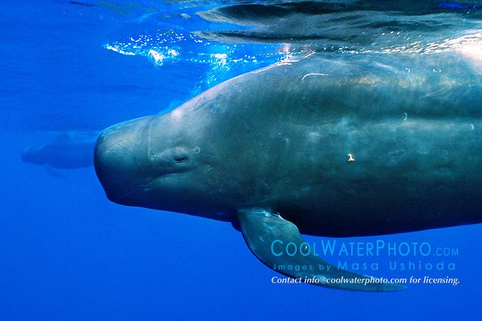short-finned pilot whales, .Globicephala macrorhynchus, .Big Island, Hawaii (Pacific)