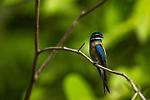 Whiskered Treeswift (Hemiprocne comata), Deramakot Forest Reserve, Sabah, Borneo, Malaysia