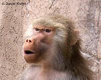 0719-1110  Female Hamadryas Baboon, Papio hamadryas  © David Kuhn/Dwight Kuhn Photography.