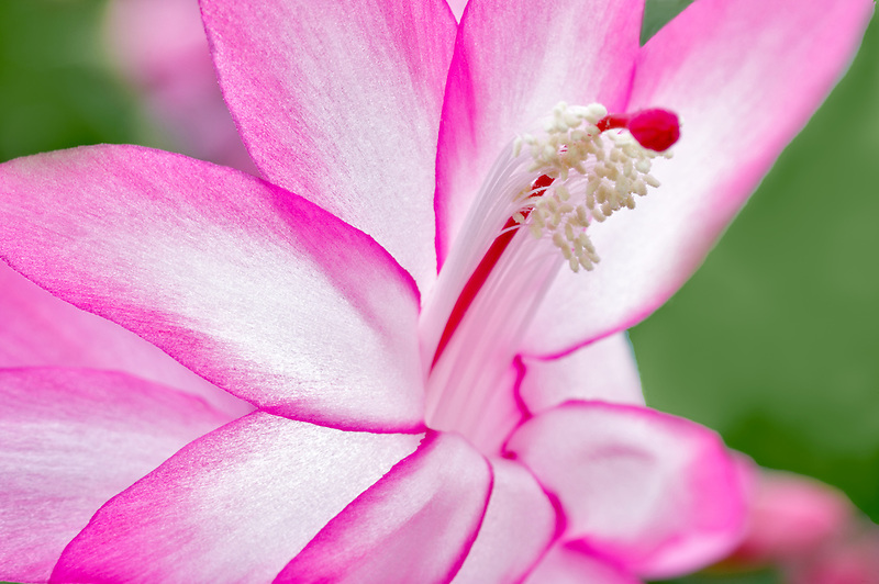 Christmas cactus flower (Schlumbergera Thor Tenna). Al's Nursery. Woodburn. Oregon