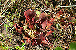 The pitcher plant is an insectivorous plant, which holds water in the pitcher formed from its leaves.  Hairs pointing downward keep insects that fall into the water from crawling out.  The plant absorbs nutrients from the decomposing bodies.  It is a listed species in Florida.