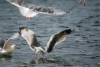 Gabbiani. Seagulls.