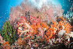 Misool, Raja Ampat, Indonesia; Wayilbatan area, pink sea fans, orange and red soft corals and green black sun corals populate a coral reef wall, looking up towards the sun