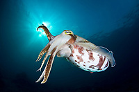 An adult Broadclub cuttlefish, Sepia latimanus, uses a thin skirt about its body to hover virtually motionless. This is a large, quite common species. Buyat Bay, North Sulawesi, Indonesia, Pacific Ocean