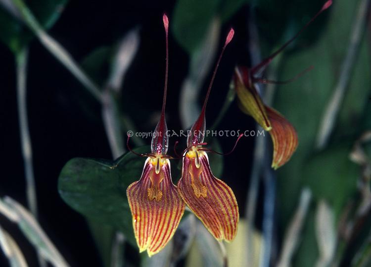 Restrepia striata, orchid species , Pleurothallid