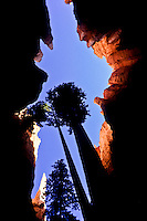 A tree in Bryce Canyon silhouettet against the blue sky above the canyon walls
