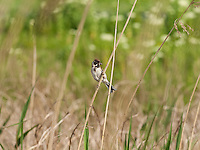 A Male Reed Bunting {Emberiza schoeniclus} Gathering Food at Elmley Marshes, Isle of Sheppey, Kent