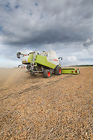 Combining bypassed vining peas for seed - August, South Lincolnshire