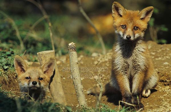 Red Fox, Vulpes vulpes , young at den, Oberaegeri, Switzerland, May 1997