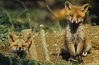 Red Fox, Vulpes vulpes , young at den, Oberaegeri, Switzerland, May 1997