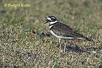 1K03-006z  Killdeer - adult - Charadrius vociferus