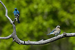 Mountain bluebird, pair, Sialia currucoides, male, female, wildlife, wild, bird, spring, June, morning, Rocky Mountain National Park, Colorado, USA