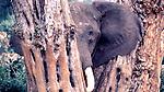 African Elephant, Aberdares, Kenya