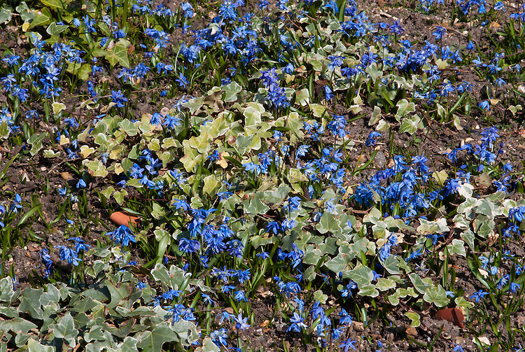 Hedera helix 'Glacier' + Scilla sibirica in blue flowered bloom in early spring bulb, minor bulb with variegated groundcover perennial
