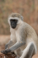 Black-faced Vervet Monkey, Chlorocebus pygerythrus, in Tarangire National Park, Tanzania
