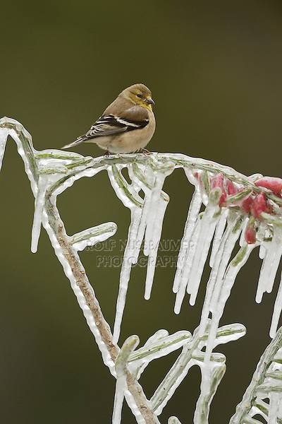 American Goldfinch (Carduelis tristis), adult in winter plumage perched on icy branch, Hill Country, Texas, USA