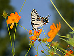 Eastern Tiger Swallowtail On An Orange Flower, Papilio glaucus Linnaeus