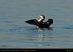 Common Loon Display, Non-Breeding Plumage, Great Northern Loon, Wolfeboro Bay, Wolfeboro NH
