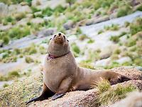 Australian fur seal (Arctocephalus pusillus doriferus) bull with entanglement wound. Kanowna Island, Bass Strait, Australia