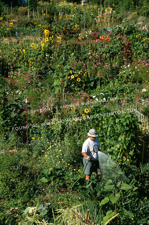 A middle-aged, Asian man dressed in a floppy hat and gardening gloves, waters his plants with a spray of water from a hose, as the large community garden spreads out around him in the late afternoon summer sunshine.