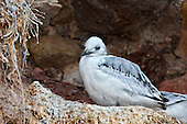 Black-legged kittiwake (Rissa tridactyla) Chick on nest. Almost reaching the fledgling stage. The feathers have mostly transformed from the downy chick feathers into flight feathers. The chick is rapidly putting on weight and demanding food from bot parents.