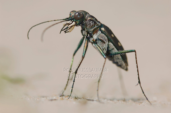 Tiger Beetle, Cicindela ocellata, adult on sand, Willacy County, Rio Grande Valley, Texas, USA