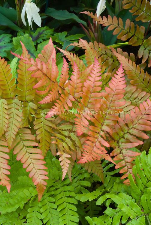 Dryopteris erythrosora Brilliance Autumn Fern