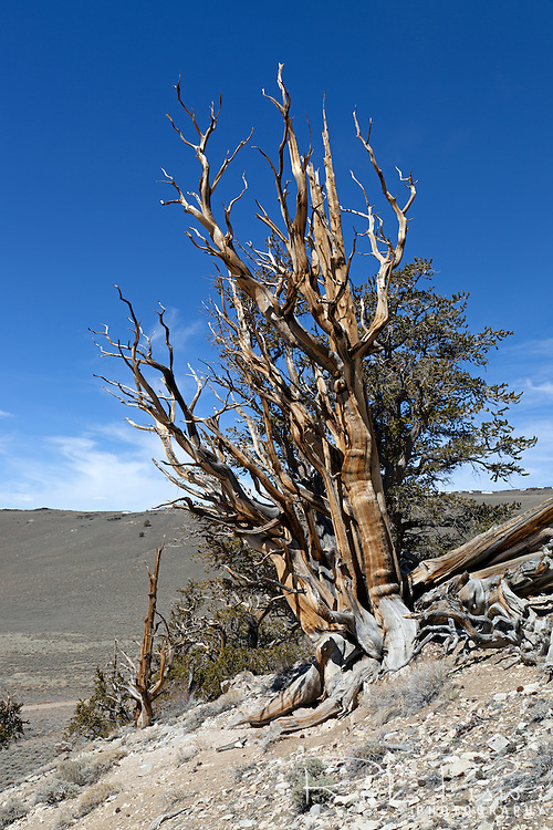 Bristlecone Pine Tree in the Ancient Bristlecone Pine Forest in Eastern California's White Mountains. The Great Basin Bristlecone Pine (Pinus longaeva) trees grow between 9,800 and 11,000 feet above sea level and some are known to be over 5000 years old.