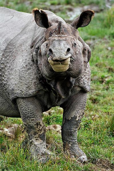 Greater Indian Rhinoceros or Asian One-horned Rhinoceros (Rhinoceros unicornis) bull, Kaziranga National Park, India.