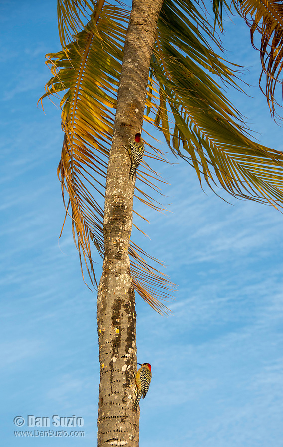 Two West Indian Woodpeckers, Melanerpes superciliaris murceus, perch on the trunk of a coconut palm on Isla de la Juventud, Cuba