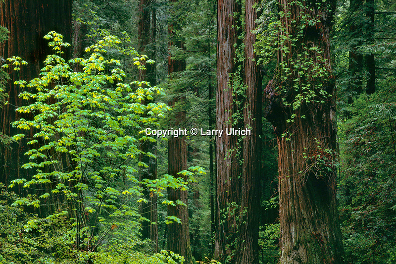 Big-leaf maples and coast redwoods<br />   line Avenue of the Giants in Pioneer Grove<br /> Humboldt Redwoods State Park<br /> Humboldt County,  California