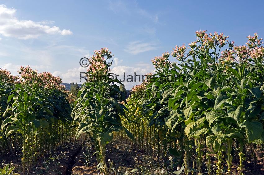 Italien, Latium, Tabakanbau in Latium | Italy, Lazio, tabacco growing at Lazio