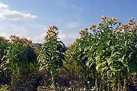 Italien, Latium, Tabakanbau in Latium | Italy, Lazio, tabacco growing at Lazio