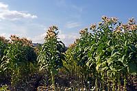 Italien, Latium, Tabakanbau in Latium   Italy, Lazio, tabacco growing at Lazio
