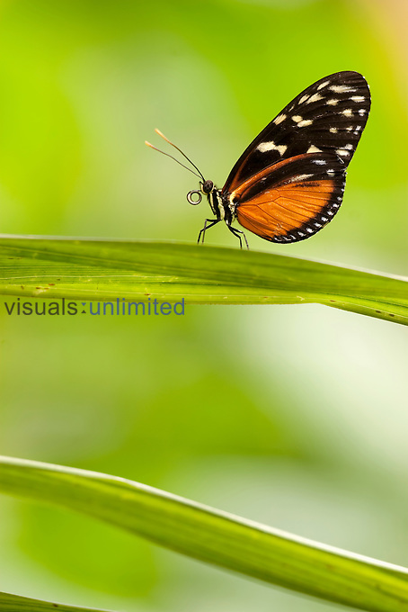 Heliconius Butterfly (Heliconius), Costa Rica.