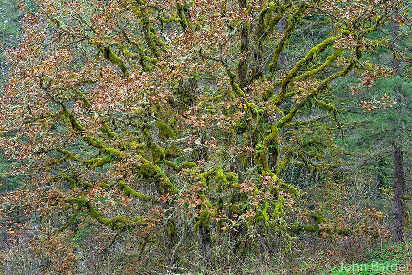USA, Washington, Camas, Lacamas Park, Multiple trunks of moss-laden Oregon white oak and autumn leaves.