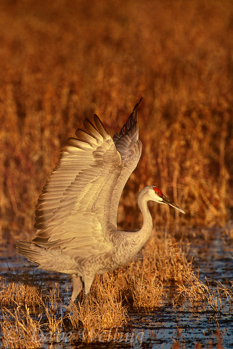 512666354v a wild sandhill crane grus canadensis flaps its wings while standing in a shallow pond at its overwintering home in bosque del apache national wildlife refuge new mexico