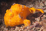 Triton Bay, West Papua, Indonesia; an orange Painted Frogfish (Antennarius pictus) moving across the sea floor