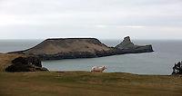 Pictured: A sheep on a cliff overlooking Worm's Head. Monday 17 March 2014<br />