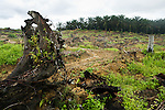 African Oil Palm (Elaeis guineensis) plantation and clear cut for new planting, Sabah, Borneo, Malaysia
