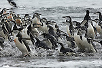 Chinstrap Penguins leaving the ocean on Deception Island, Antarctic Island.