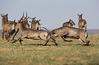 Male water bucks chasing each other and head-butting.
