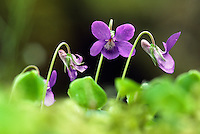 COMMON DOG-VIOLET Viola riviniana (Violaceae) Height to 12cm. Familiar perennial herb of woodland rides and grassland. FLOWERS are 15-25mm across and bluish violet with a blunt, pale spur that is notched at the tip, and pointed sepals (Mar-May). FRUITS are egg-shaped. LEAVES are long-stalked, heart-shaped and mainly hairless. STATUS-Widespread and locally common throughout.