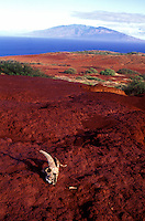A goat skull lies on the desolate red eroded landscape of the uninhabited island of Kaho'olawe.