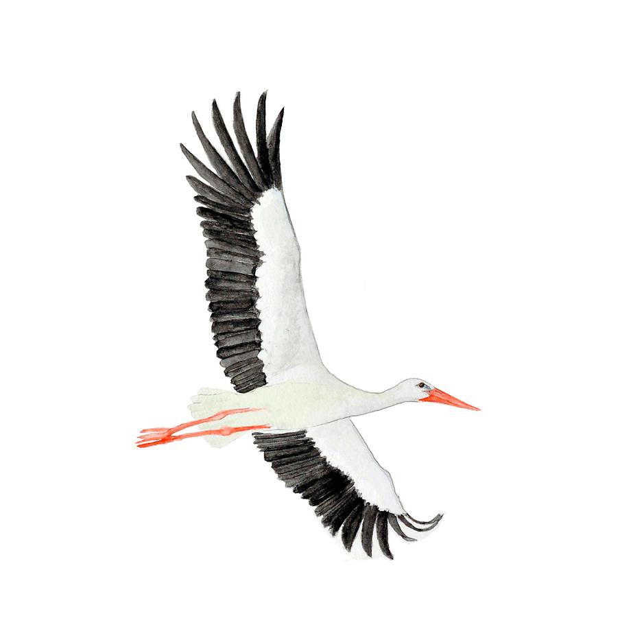 Ooievaar (Ciconia ciconia), vliegend