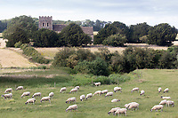 21.7.2020 Ewes grazing in front of the Church of St Luke in Tixover, Rutland <br />  ©Tim Scrivener Photographer 07850 303986<br />      ....Covering Agriculture In The UK.