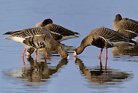 537260004 wild greater white-fronted geese anser albifrons at colusa national wildlife refuge califonia