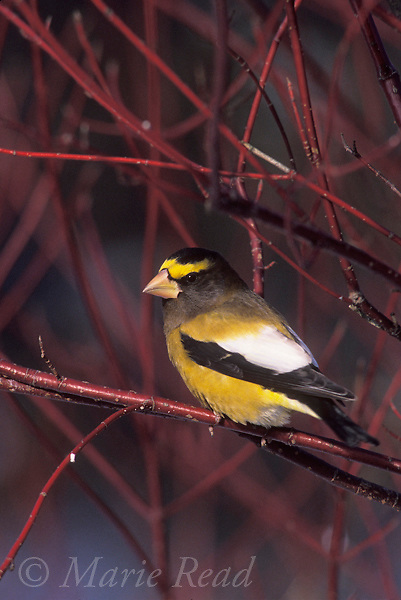 Evening Grosbeak (Coccothraustes vespertinus) male perched amidst red-osier dogwood stems in winter, New York, USA<br /> Slide # B168-04