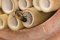 Rote Mauerbiene, Rostrote Mauerbiene, Mauerbiene, Mauer-Biene, Weibchen, Nest, Neströhre, Niströhren, Wildbienen-Nisthilfe, Wildbienennisthilfe, Osmia bicornis, Osmia rufa, red mason bee, mason bee, female, L'osmie rousse, Mauerbienen, mason bees. Wildbienen-Nisthilfe aus Bambus, Bambusstange, Bambusstangen, Bambus-Nisthilfe, Bambusstab, Bambusstäbe, Wildbienen-Nisthilfen, Wildbienen-Nisthilfe selbermachen, selber machen, Wildbienenhotel, Insektenhotel, Wildbienen-Hotel, Insekten-Hotel